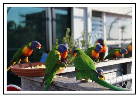 Lorekeets Melbourne Australien Aquarii
